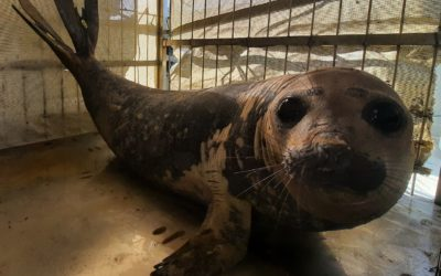 Successful Release Operation for Rescued Elephant Seal